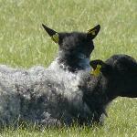 les moutons du gothand