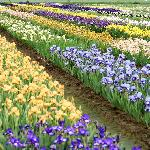 200 acres of blooming Iris to view