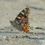 Painted Lady butterfly on castle wall