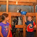 Feeding the goats in the lower barn.