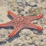 One of the many beautiful starfish around the island