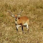 A deer of some sort