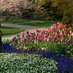 Cheekwood in Bloom - over 55,000 tulips in 2013