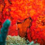 Hidden FrogFish