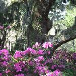 Azaleas in bloom under one of our dozens of ancient live oaks