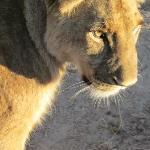 Lion walk close up!