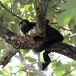 Howler monkeys on the property