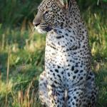 We were lucky enough to see a few leopards