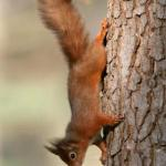 Red squirrel playing at Kilnsey
