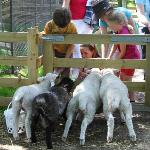 Kids feeding the lambs in Spring