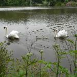 Swans on Lake