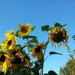 Giant Sunflowers in Marc's Garden