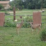 Fawns in back yard