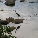 Blue Heron on the River