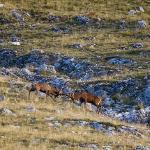 Combattimento tra cervi a fine settembre