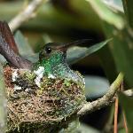 Hummingbird nesting