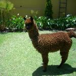 Sumac, a alpaca que vive no pátio interno
