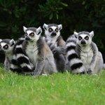 Lemuri dalla coda ad anelli