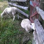 Sheep on the grounds.