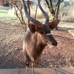 Curious Kudu on the Patio