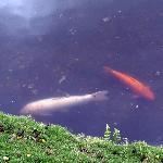 Lone koi fish