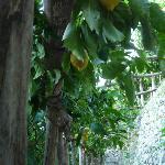 Lemon trees in Rina's garden