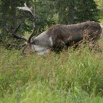 Caribou right outside TRL