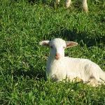 Allevamento Ovino dell'Azienda Agricola La Valle degli Ulivi