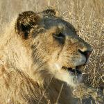 Young male lion who was separated from his pride