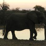 Elephant by a watering hole