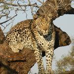 Leopard in a tree!
