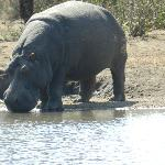 Harry the hippo- lives in the watering hole!