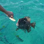 Feeding Batfish at Île St. Pierre