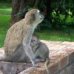 Monkeys are all around the lodge, quite entertaining at times