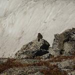 Marmot in front of Glacier