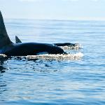 We are Family! Transient Orcas heading to the Pacific Ocean