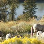 Bighorn sheep wandering the grounds.
