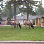 Elk just chilling next to cabins