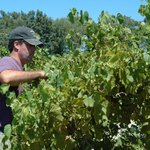 Jim Pfeiffer, owner, managing the vines during the summer