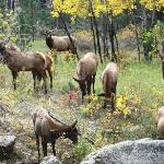 Bull Elk & his Harem across the River