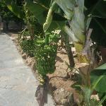 Banana tree outside!