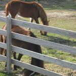 Ocracoke Ponies March 2012