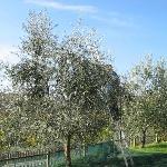 Olivicoltura - raccolta delle olive in agriturismo