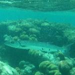 Barracuda - snorkeling Bacalar
