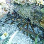 Lobster - snorkeling Bacalar