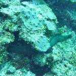 Green moray eel - diving Bacalar