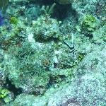 Juvenile spotted drum - diving Bacalar