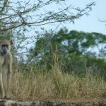Baboon seen on the banks of the Wami River