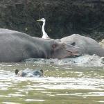 Hippos and birds