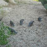 Quails next to casita patio